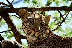 Tigre na selva