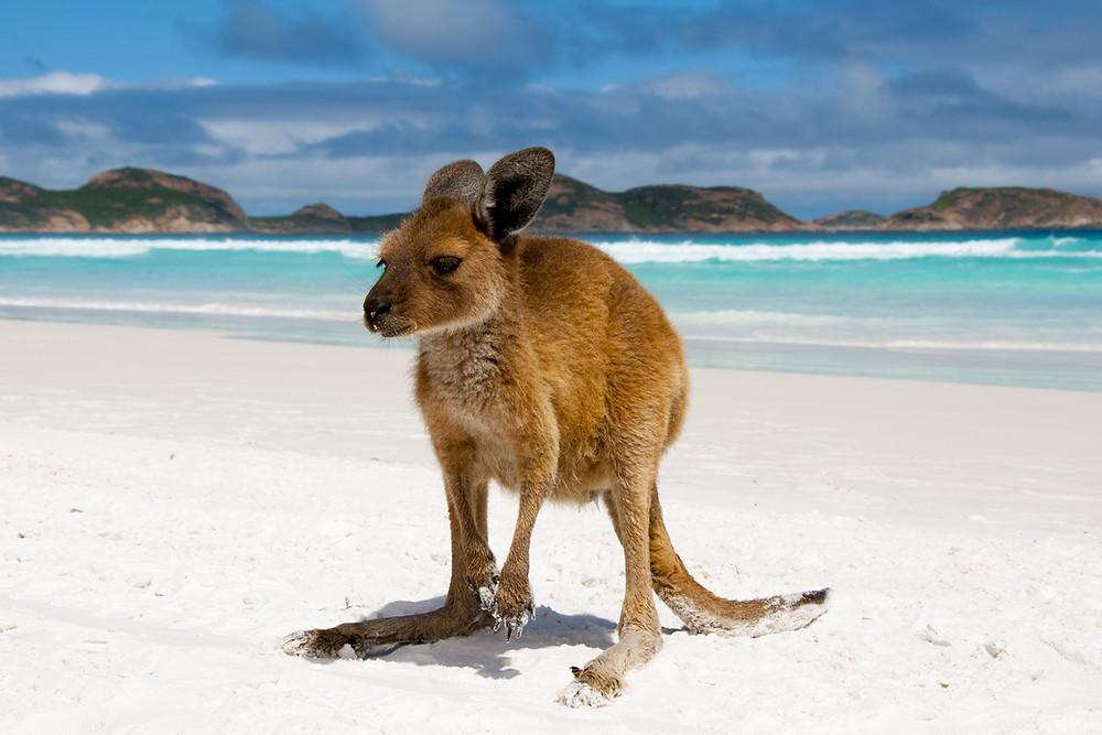 Baby Kangaroo barefoot at the beach