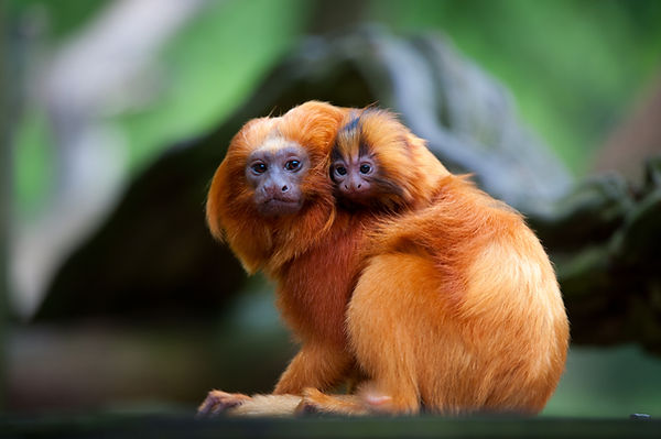 Hugging Monkeys