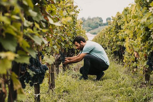 Escolher uvas roxas