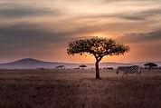 Zebras em selvagem
