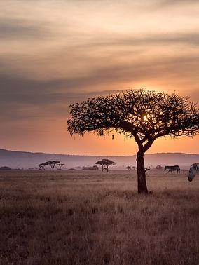 Zebras in Wild