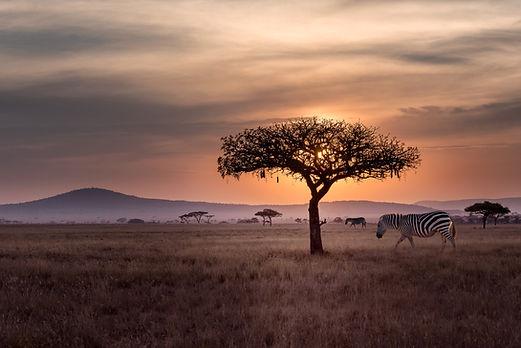 Зебры в дикой природе