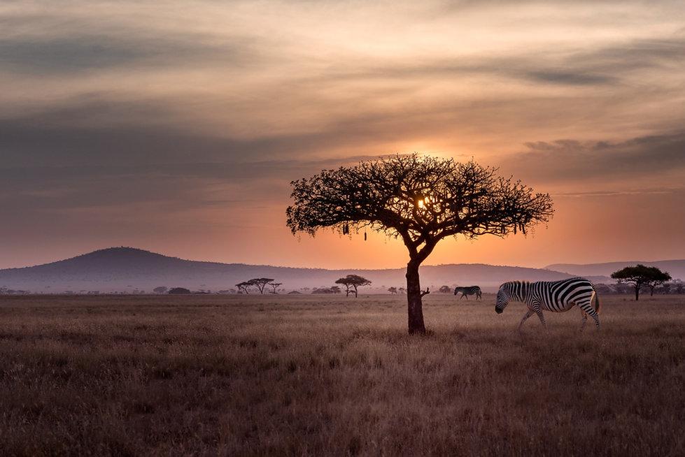 Zebras in freier Wildbahn