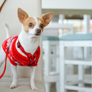 Dog with Red Sweater