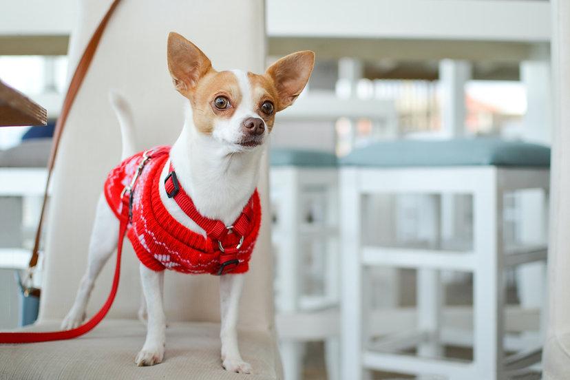 Perro con suéter rojo