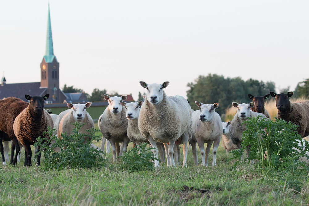 An inquisitive bunch of sheep standing in a field looking right at the camera.