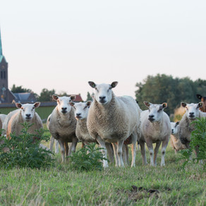 Pity Us, Jesus. We Are Sheep (16th Sunday Gospel Lection Divina)