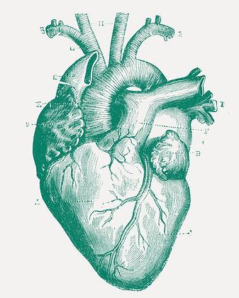 Coração médico ilustrado