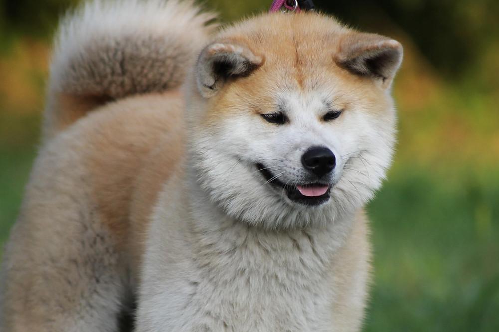 Shiba Inu #Gesichtlesen #Hunde Konrad Lorenz Lupushund Aureushund Katzenaugen #Katzen