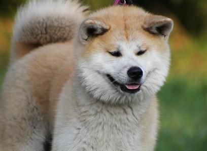 Shiba Inu: Dog Breed Profile