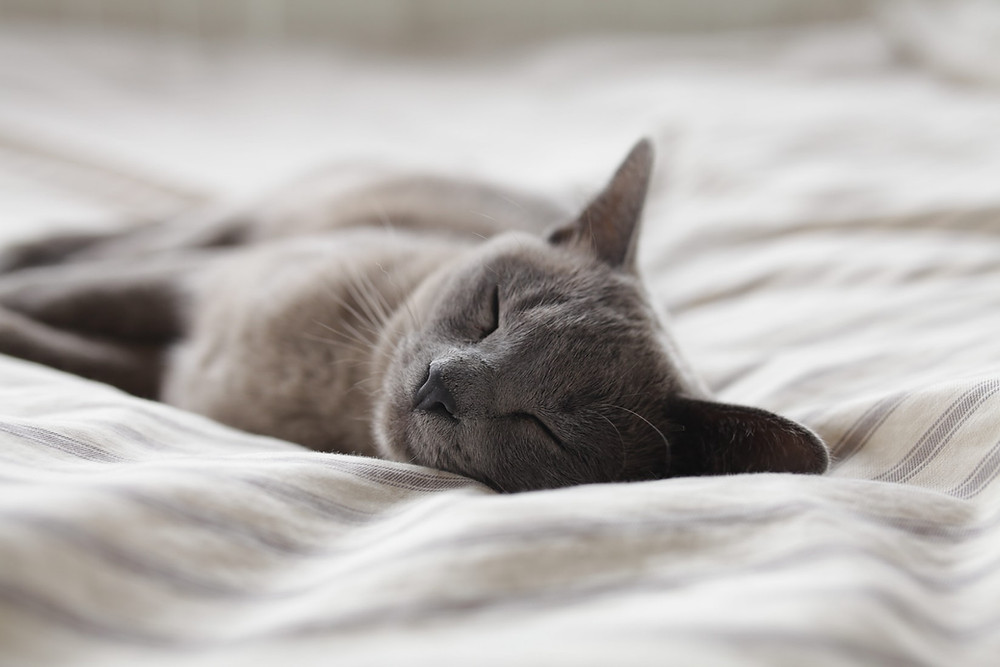 Grey cat sleeping on white bed covers
