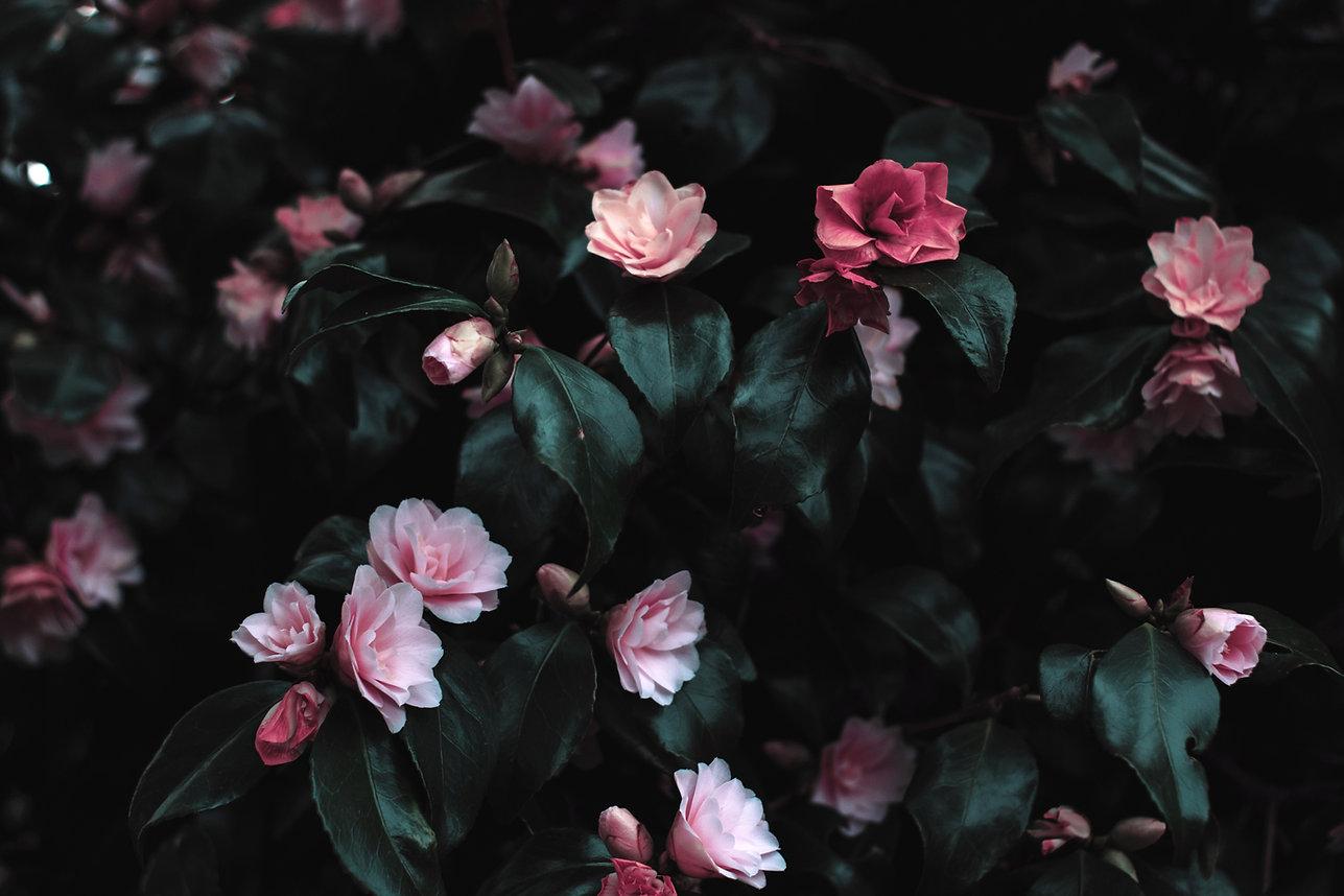 Růžové květy květ