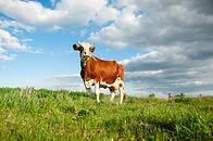 Free Range Cow
