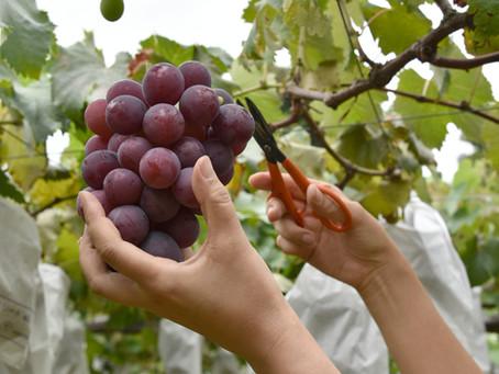 למה כדאי לכם לצרוך אשכול ענבים מידי שבוע