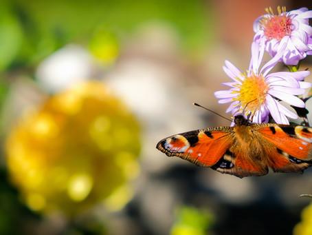 No hay mariposas