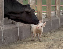 Vache et porcelet