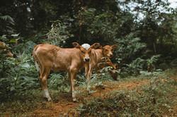 Calves in Nature