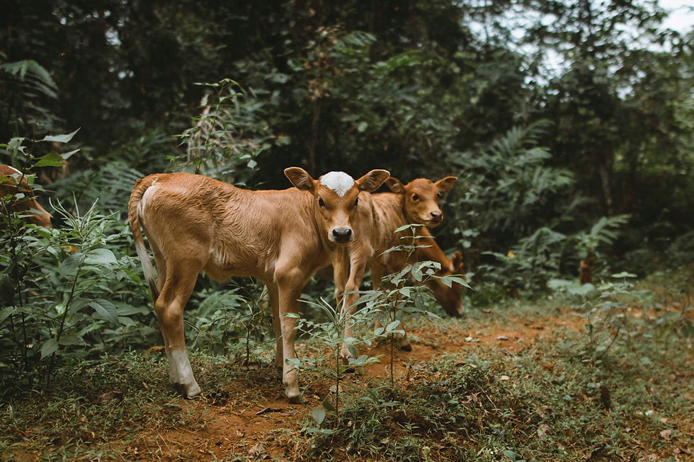 Calves in Nature