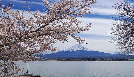 春の桜と富士山