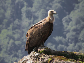 Need to Know About Vultures