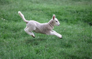 Lamb Leaping on Grass