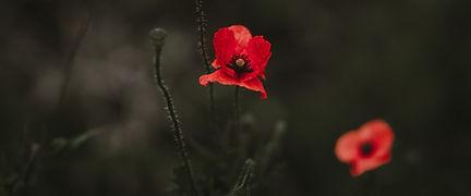 Poppy Flowers on Dark Background