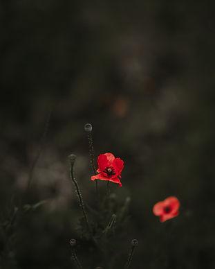 Fleurs de pavot sur fond sombre
