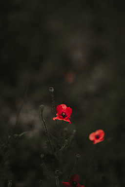 Poppy Flowers on Dark Background
