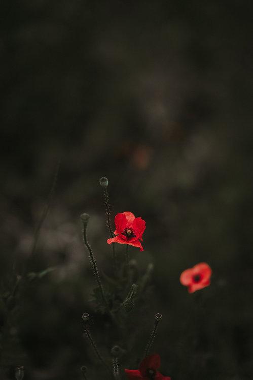 暗い背景にケシの花