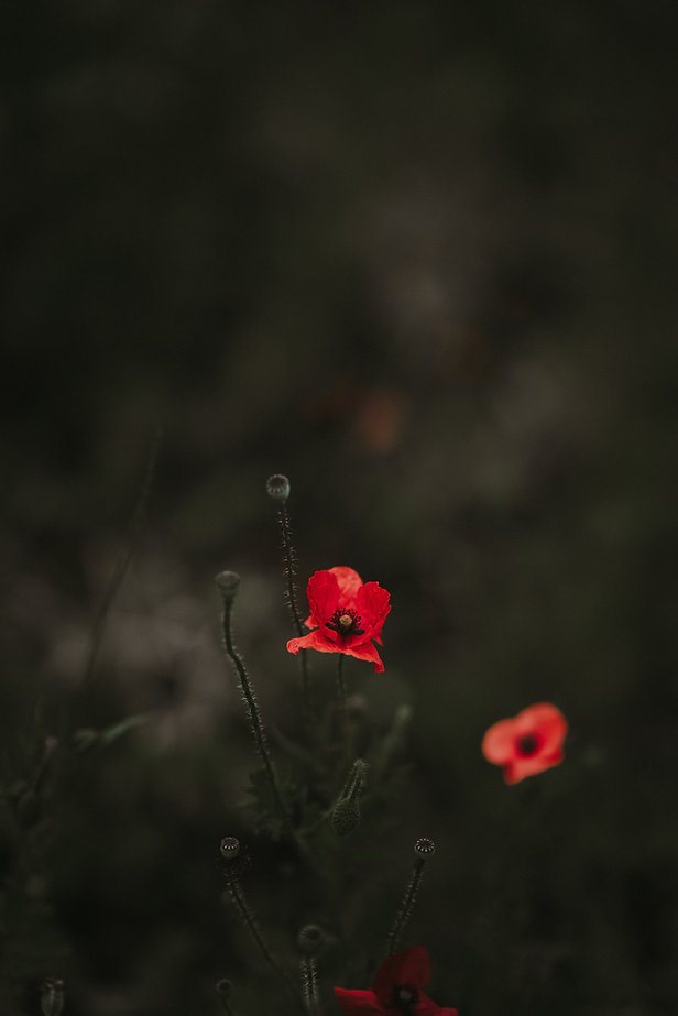 Flores de amapola en el fondo oscuro