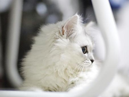 Saiba como limpar as orelhas do seu gato