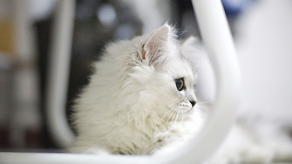 Hvit kattunge