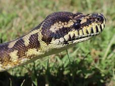 温哥华岛新增两例;维多利亚宠物巨蛇走丢
