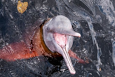 Pink River Dolphin in Pampas Tour with Yuruma Journeys