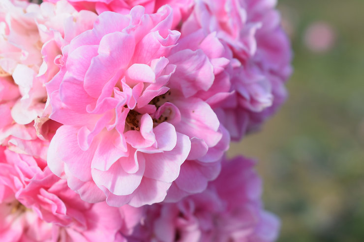 rosa Blüten