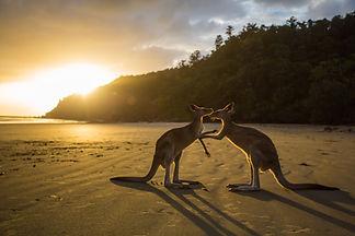 Ein paar Kängurus