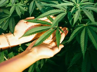 纽约大麻合法化,让在工作场所使用大麻不再受限?