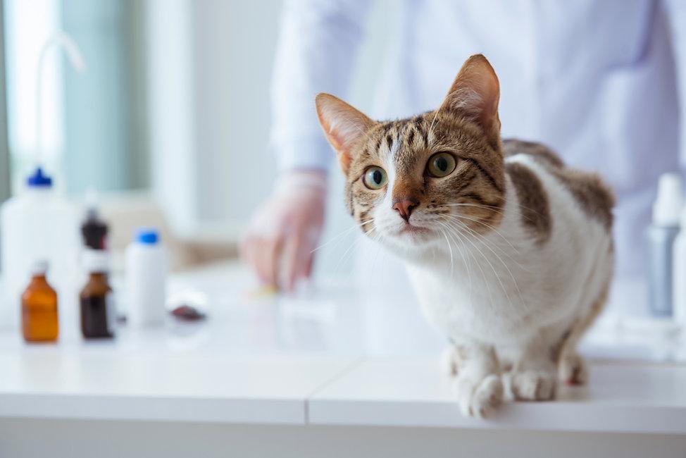 定期健診で獣医を訪れる猫