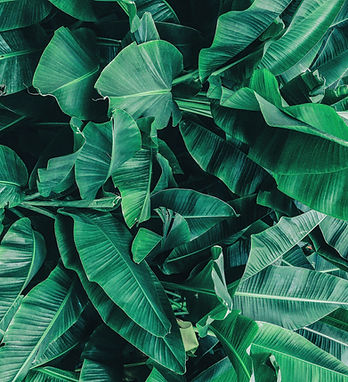 Tropical Banana Leaves
