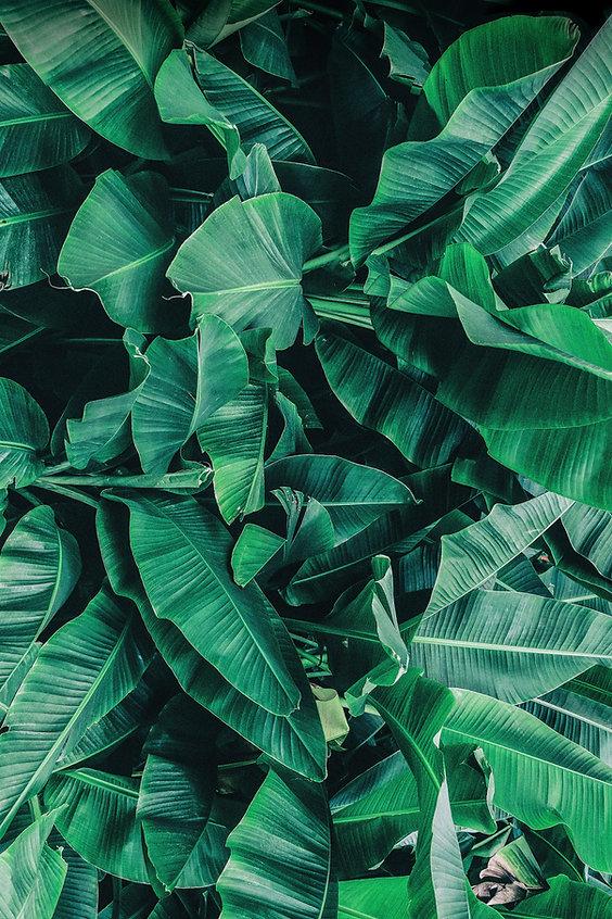 Hojas tropicales de banano