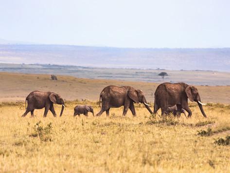 Goda nyheter: I Tanzania blir elefanterna fler och tjuvjägarna färre