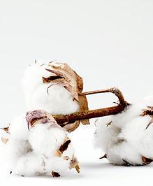Oddział bawełny