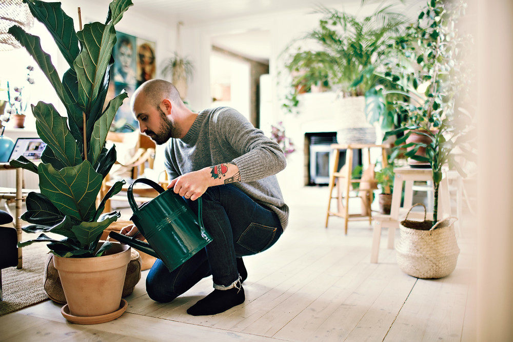 man watering fiddle leaf fig houseplant