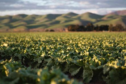 Gröna fält