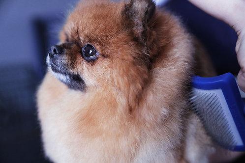 Pomeranian - Coming Soon