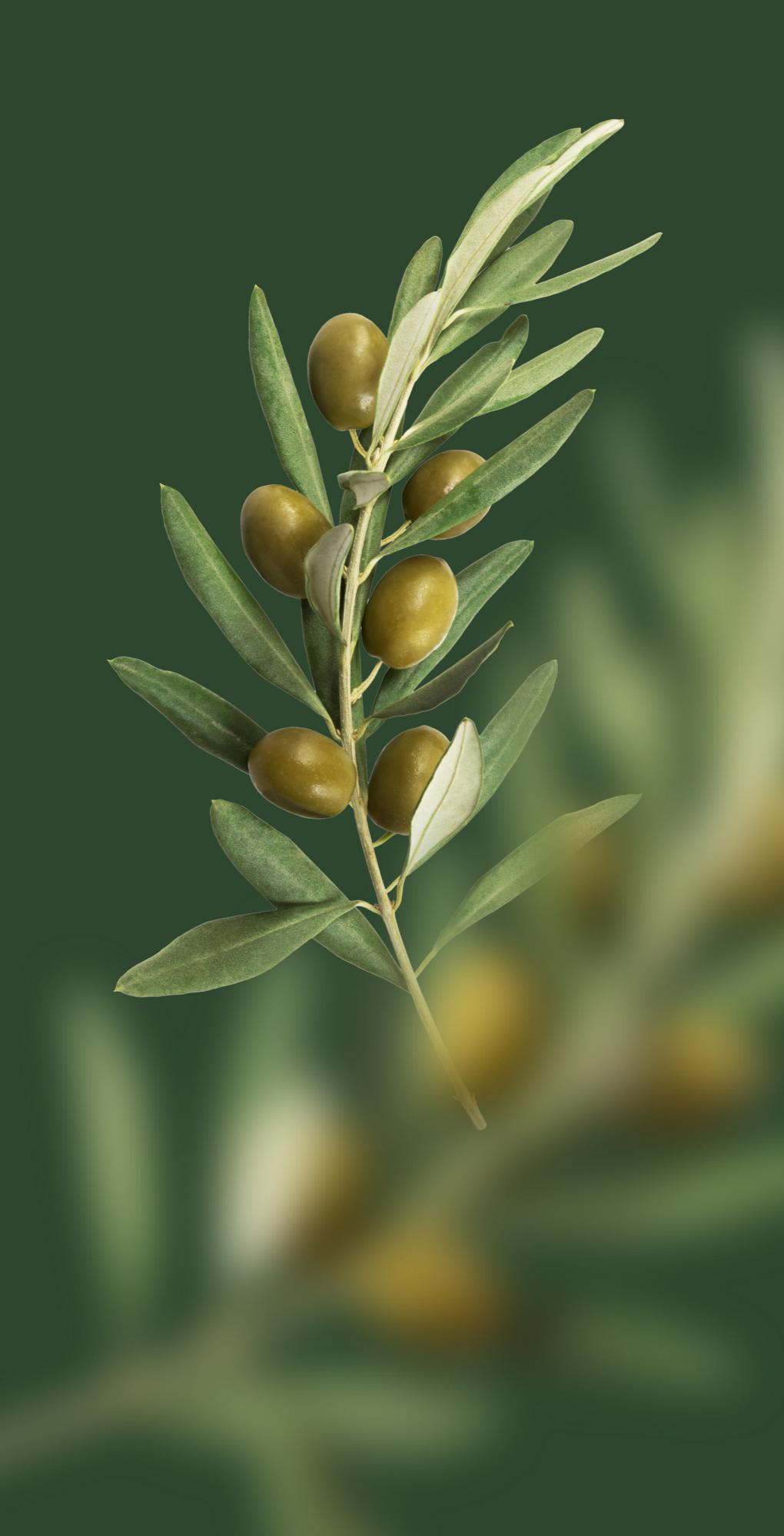 Olive harvest in Sicily