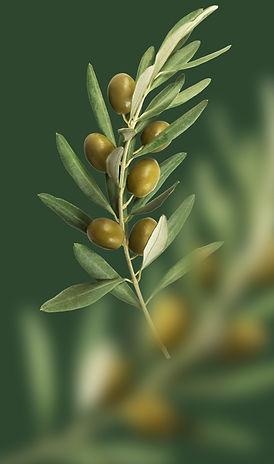 ветка оливы
