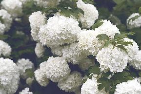 Witte hortensia's