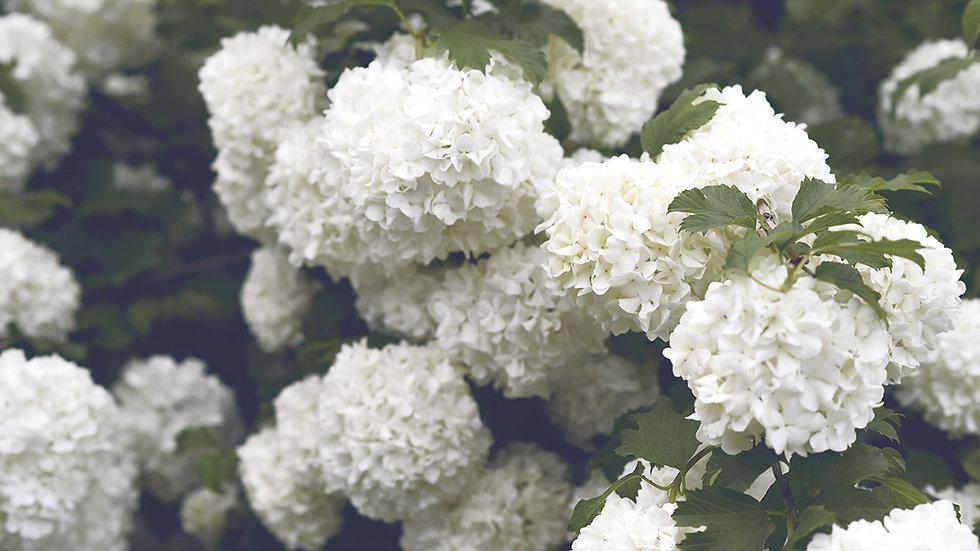 White Select Hydrangea Box